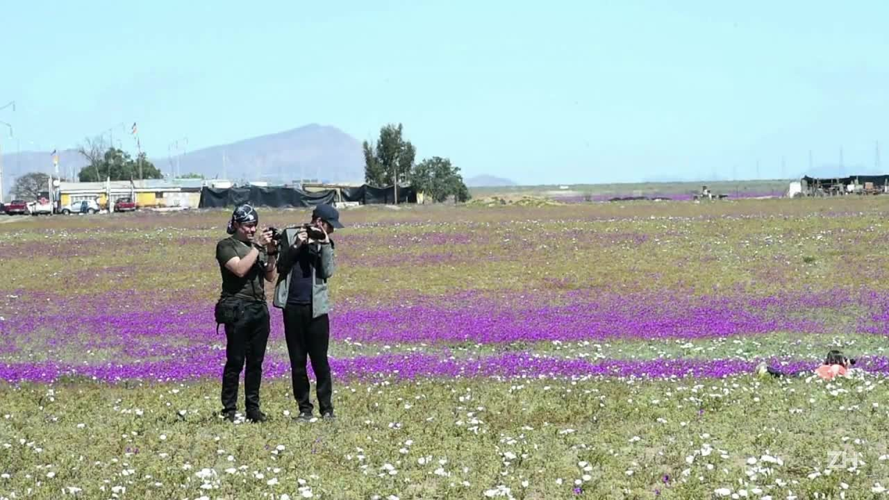 Deserto florido no Chile