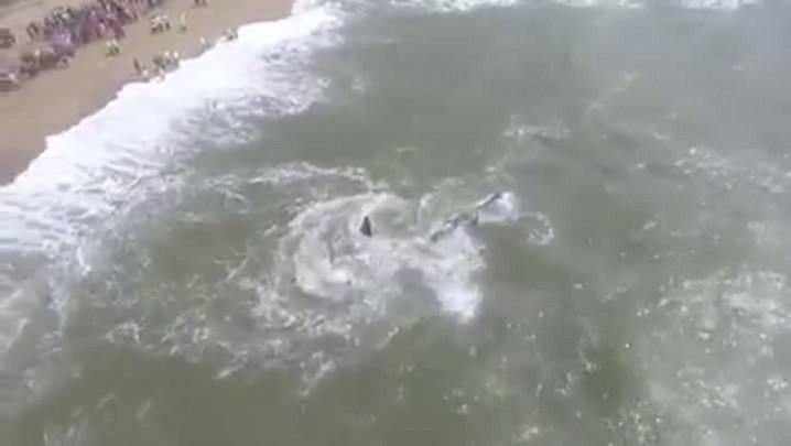 Baleia Jubarte é devolvida ao mar em Barra Velha