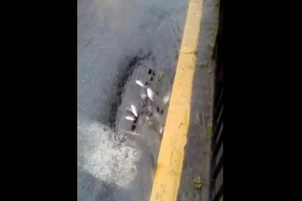 Leitora flagra peixes em bueiro no Centro de Joinville