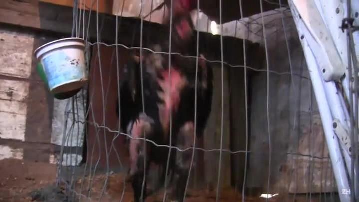 Operação da polícia combate rinhas de galo no Vale dos Sinos