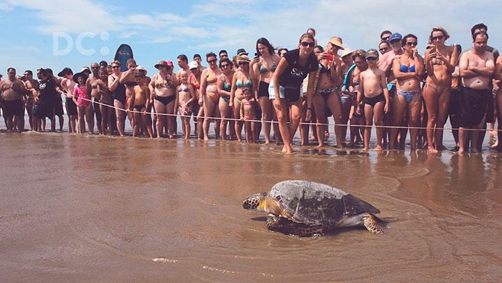 Tartarugas resgatadas são devolvidas ao mar em Navegantes