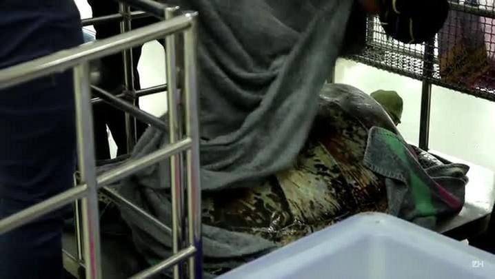 Veterinários retiram 915 moedas do estômago de tartaruga