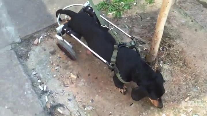 Ao criar cadeira de rodas para cachorro, casal descobre novo ramo de negócio