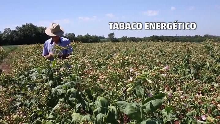 Veja como é produzido biocombustível de tabaco