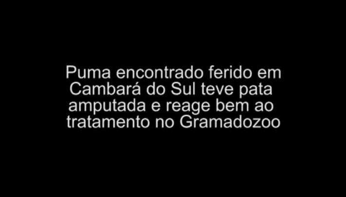 Puma atropelado vive no Gramadozoo