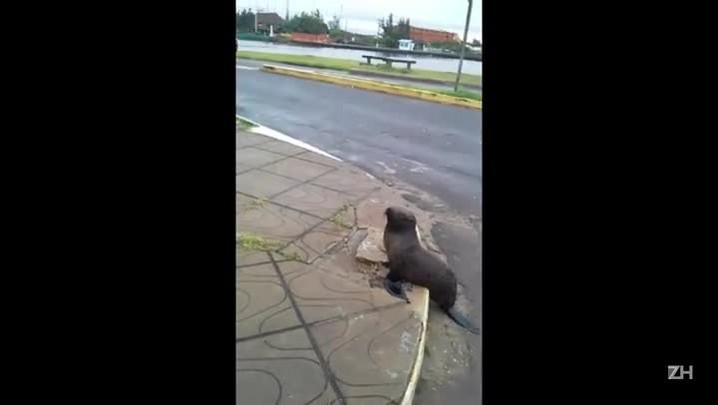 Lobo-marinho é flagrado em avenida de Torres