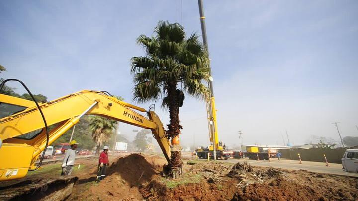 Seis árvores são movidas na Avenida Pinheiro Borda para construção de viaduto