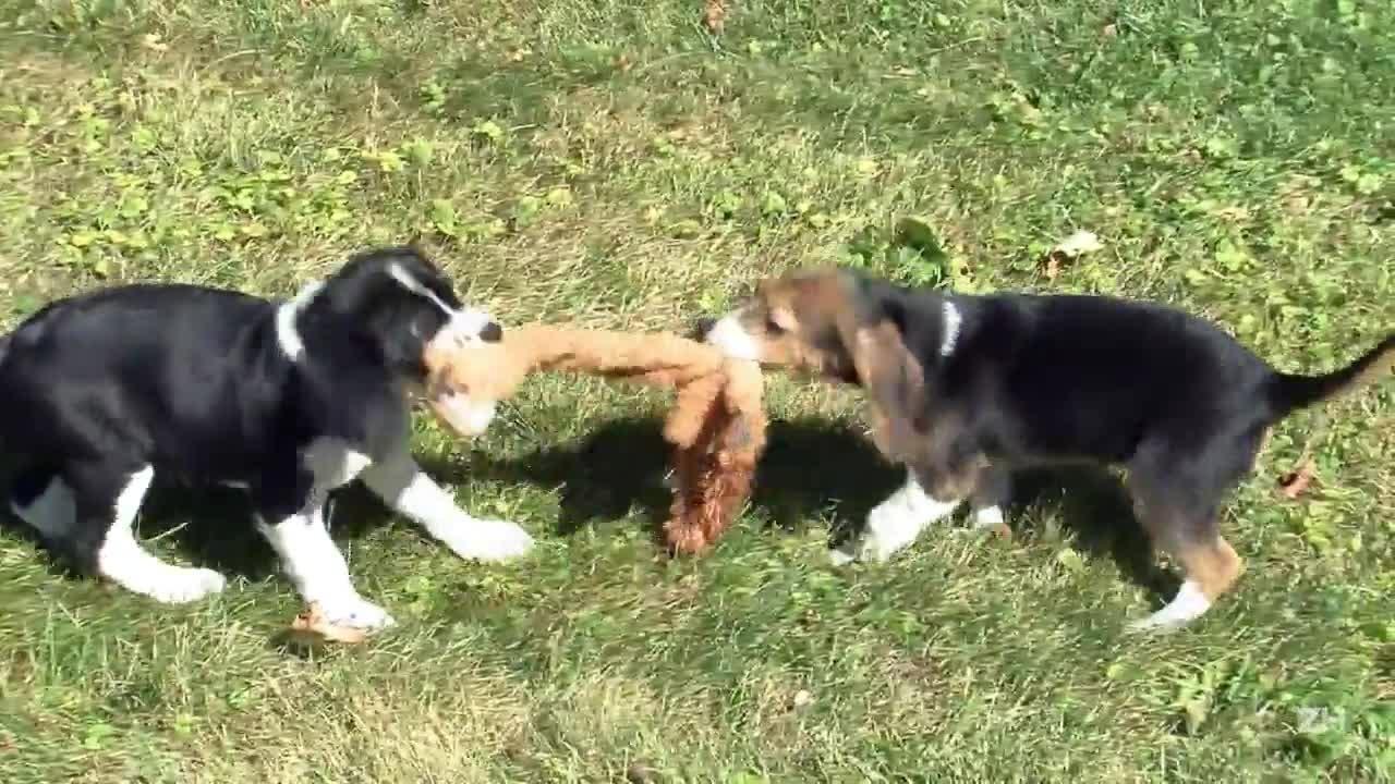 Primeira ninhada de cachorros concebidos por meio de fertilização 'in vitro'