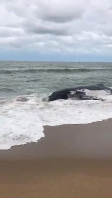 Baleia encalha em Barra Velha