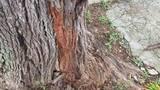 Moradora aguarda há dois anos por corte de árvore que ameaça cair no bairro Santo Antônio