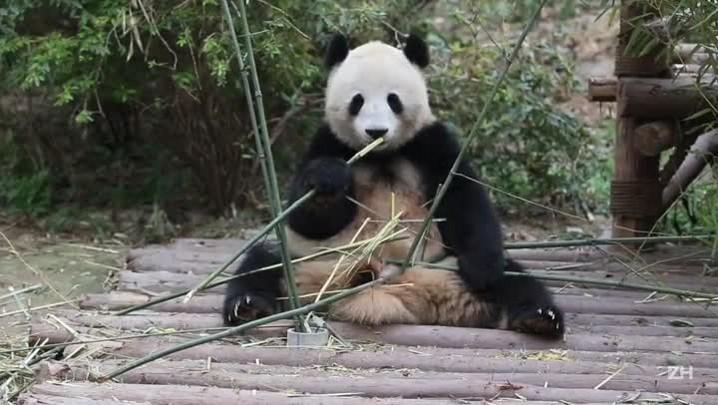 Chengdu: o berço dos pandas