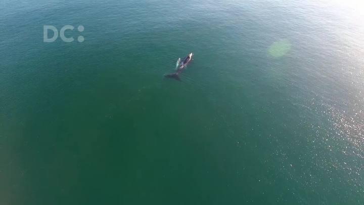 Baleias são avistadas em Balneario Bellatorres, em Passo de Torres, SC