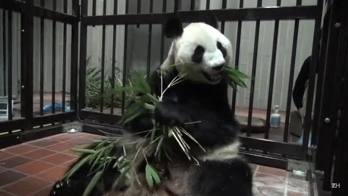 Bebê panda passa bem