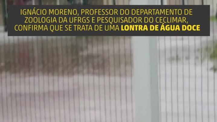 Veranista faz vídeo de lontra em rua alagada de Imbé