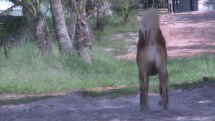 Próteses transformam a vida de cão na Tailândia