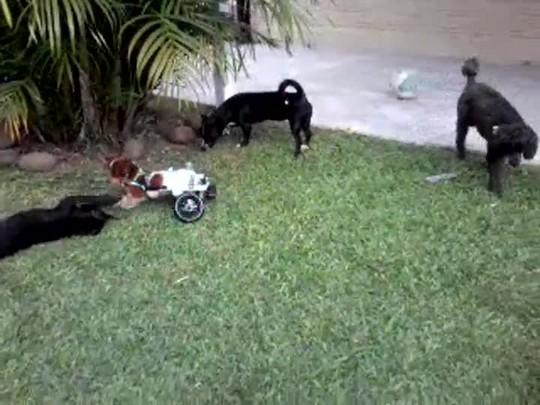 Cachorrinho deficiente adotado por família recebe cadeira de rodas