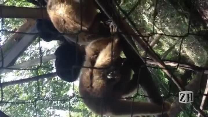 Filhote de bugio-preto nasce em zoológico de Gramado