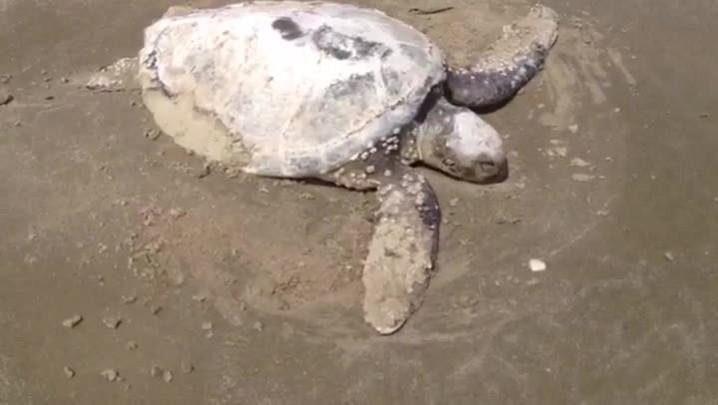 Morte de tartarugas no Litoral Sul preocupa ambientalistas