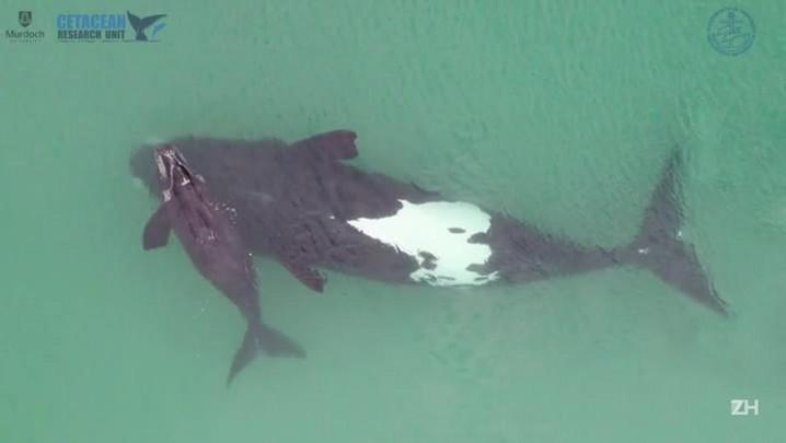 Filhote de baleia raro é filmado por drone na Austrália