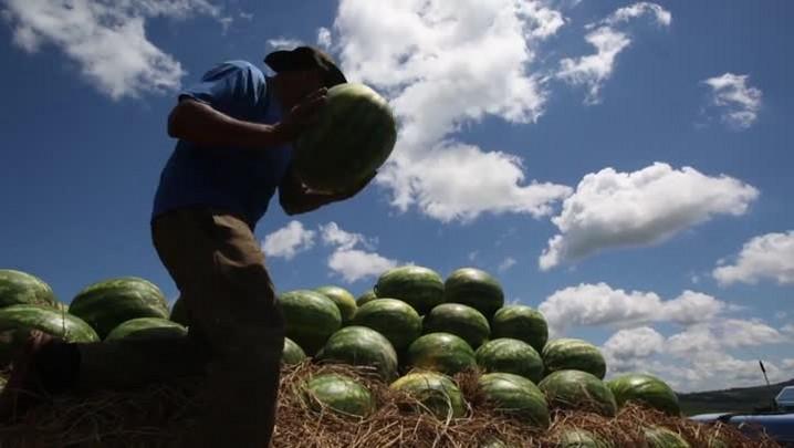 RS produz melancias para todo o Brasil