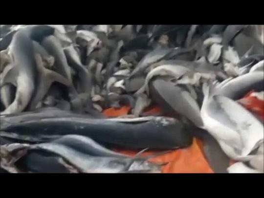 Embarcação que ficou à deriva em São Francisco levava espécies de tubarão