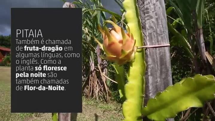 Veja como é realizado o cultivo de pitaia