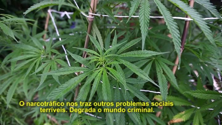 zh.doc: o livre uso da maconha para combater o narcotráfico