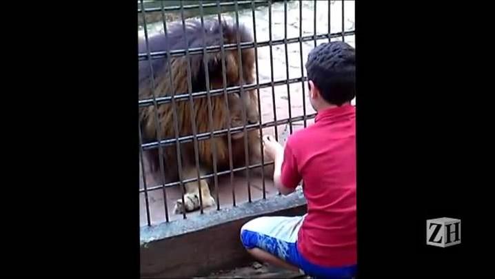 Antes de ataque de tigre, menino brinca com leão