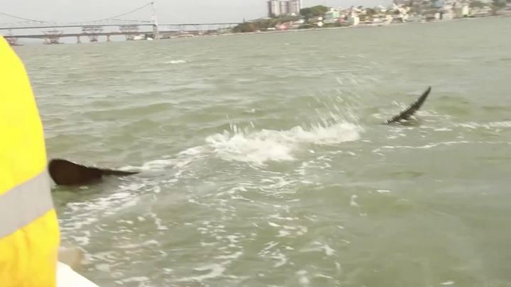 Baleia e filhote ficam presos em rede de pesca próximo à ponte Hercílio Luz, em Florianópolis