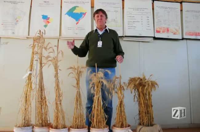Pesquisador da Embrapa fala sobre o trigo cultivado no Rio Grande do Sul