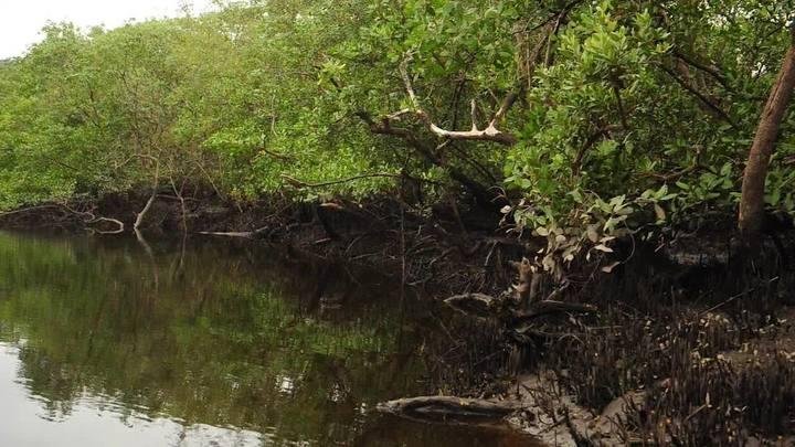 Conheça o mangue da baía da Babitonga bem de pertinho