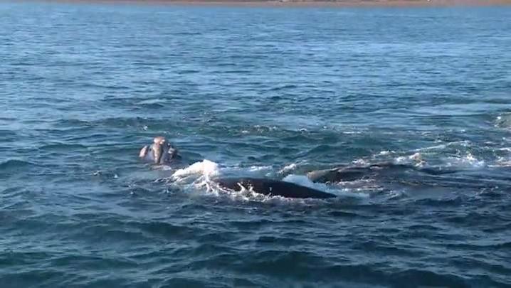 A jornada das baleias da Antártida à Península Valdés, na Argentina