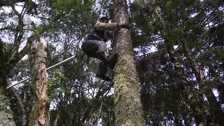 Da colheita à mesa: a cultura do pinhão na Serra Catarinense