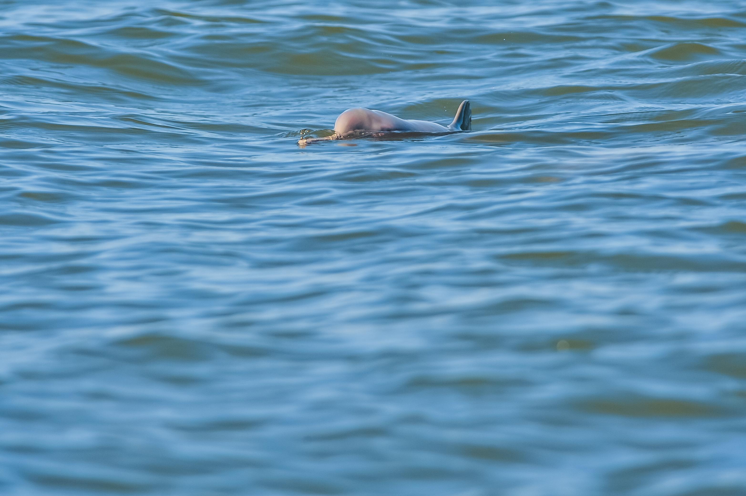 A vida dos golfinhos na baía da Babitonga