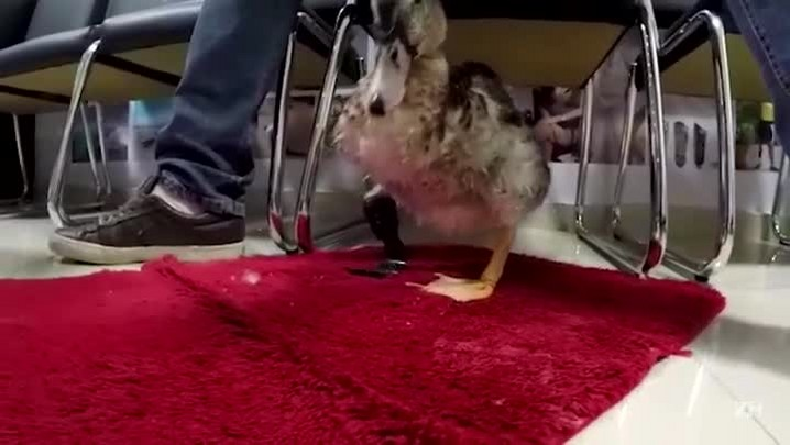 Pato de estimação que nasceu com uma perna atrofiada ganha prótese