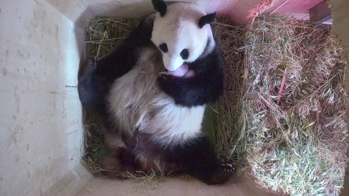 Dois pandas gêmeos nascem em Viena