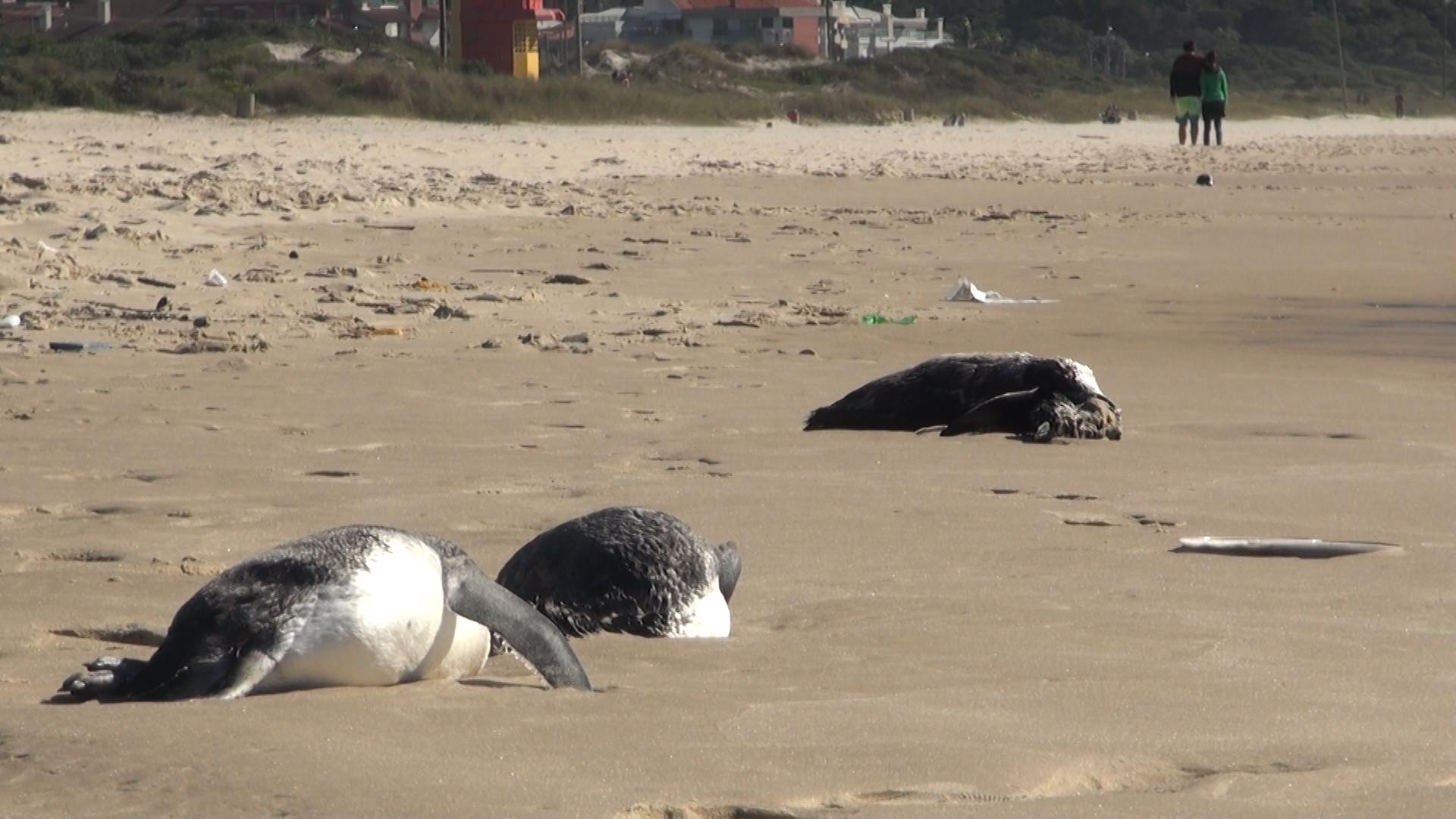 Pinguins são encontrados mortos na praia de Ingleses