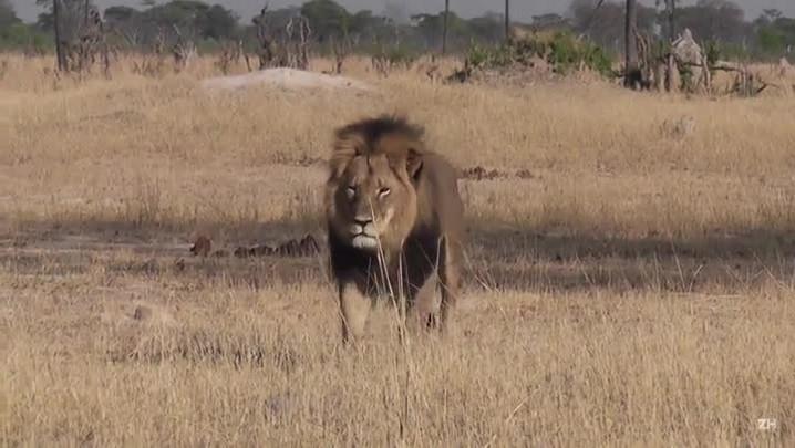Justiça ouve dois suspeitos pela morte do leão Cecil