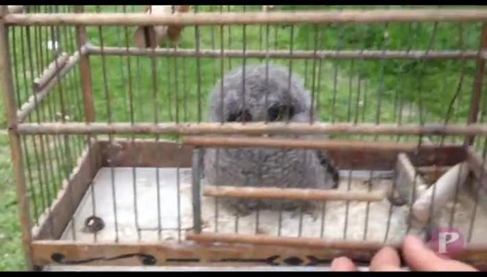 Filhote de coruja cai de ninho e é resgatado pelos bombeiros