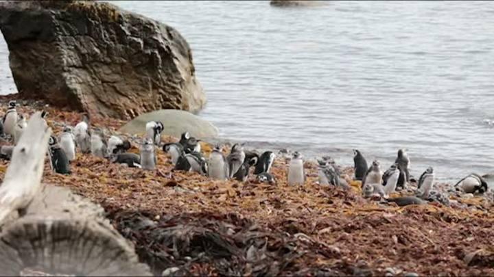 Pinguins retornam todos os verões à pinguineira na região de Magalhães, em Punta Arenas
