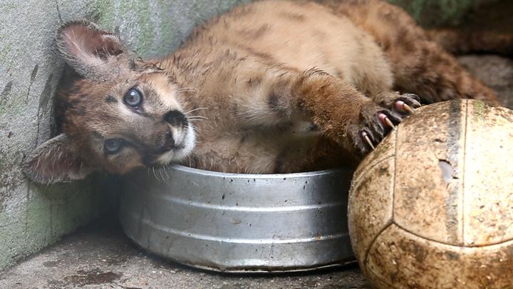 Filhote de Puma resgatado no Oeste de SC recebe cuidados na Polícia Ambiental de Florianópolis