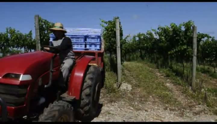 Colheita da uva na vinícola Luiz Argenta, em Flores da Cunha
