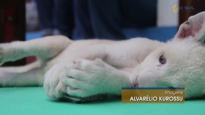 Primeira leoa branca nascida no Brasil vai completar quatro meses de vida