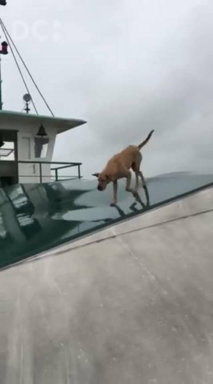 Cão anda no teto do ferry boat de Itajaí