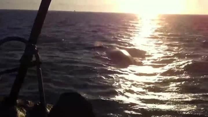 Mãe e filhote de baleia são salvos entre a praia de Canasvieiras e Ingleses