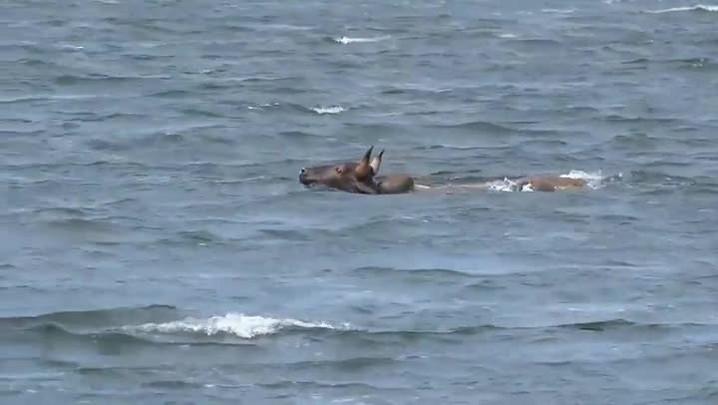 Boi é flagrado nadando na Lagoa da Conceição