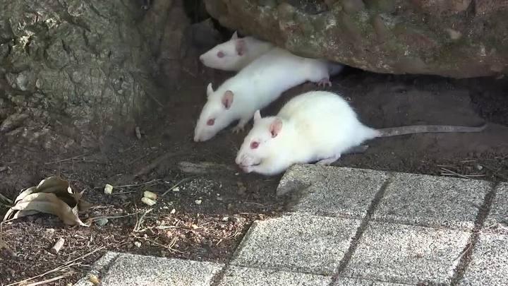 Seu Nalta alimenta os ratinhos da Redenção há dois anos