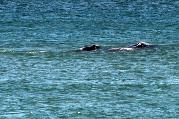 Baleias são vistas na praia do Morro das Pedras