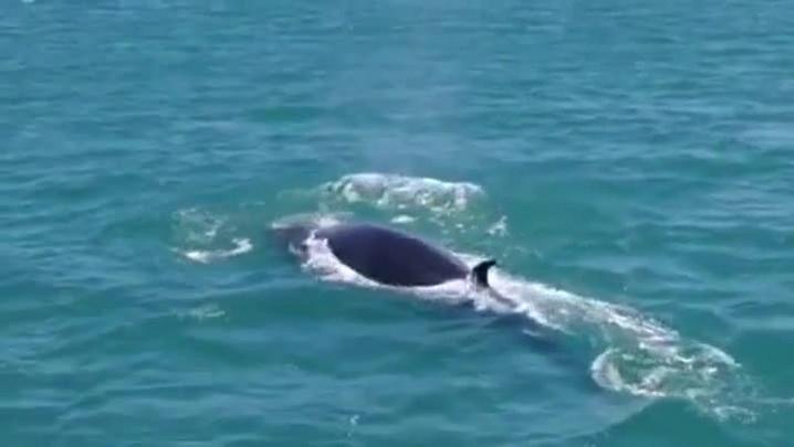 Vídeo mostra golfinho gigante em Bombinhas