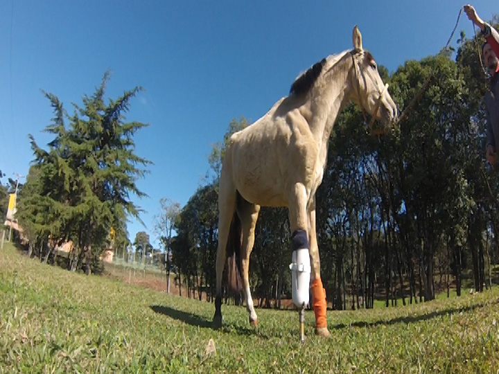 Cavalo recebe prótese em pata em Caxias do Sul
